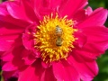 Dahlia and a busy bee