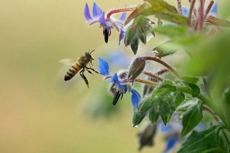 Borage-Bee